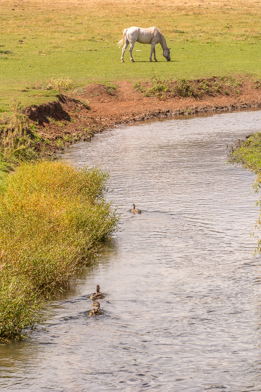 Horse Grazes As Ducks Paddle Away Fast