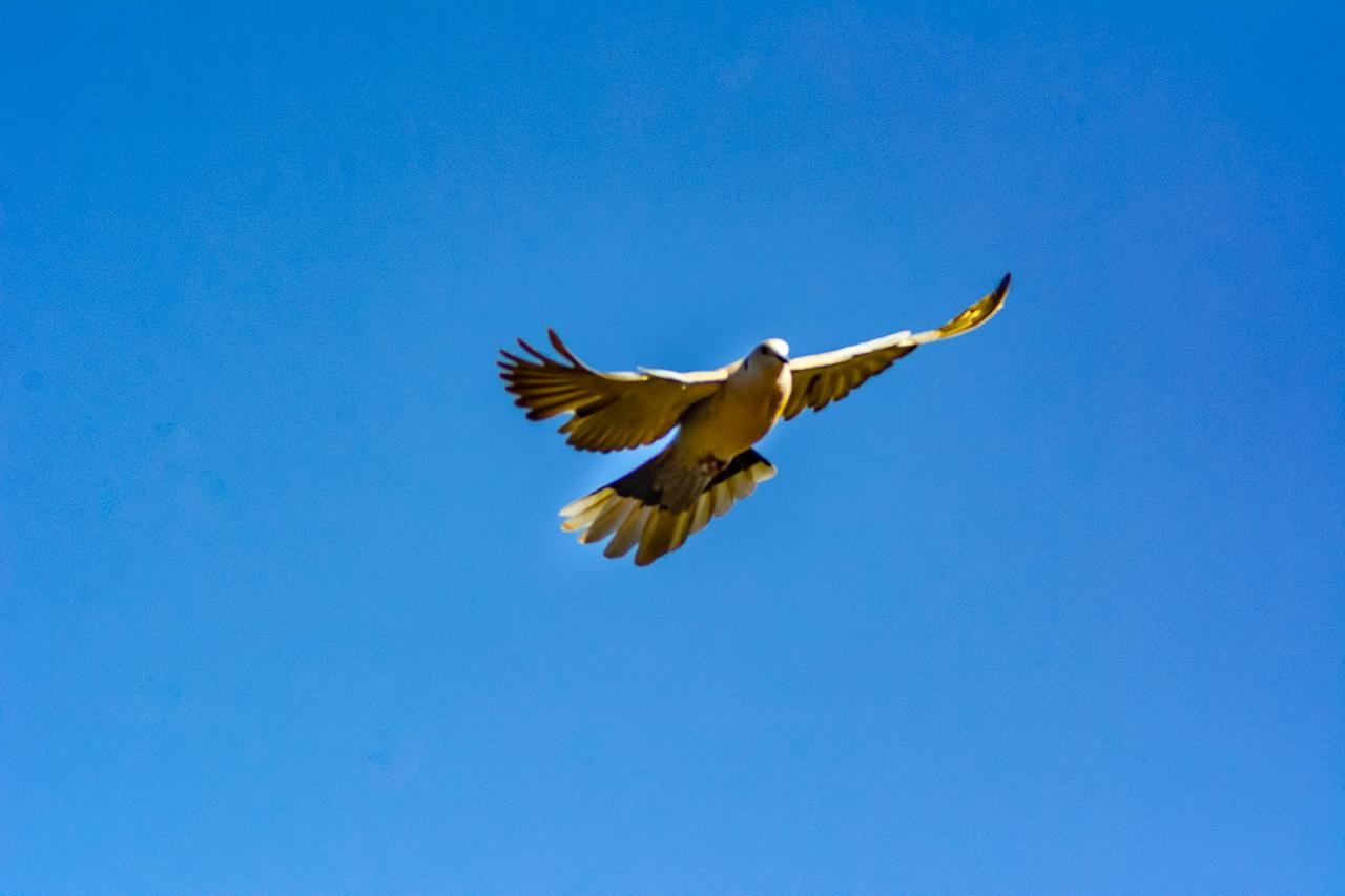 WESTERN KINGBIRD IN FLIGHT