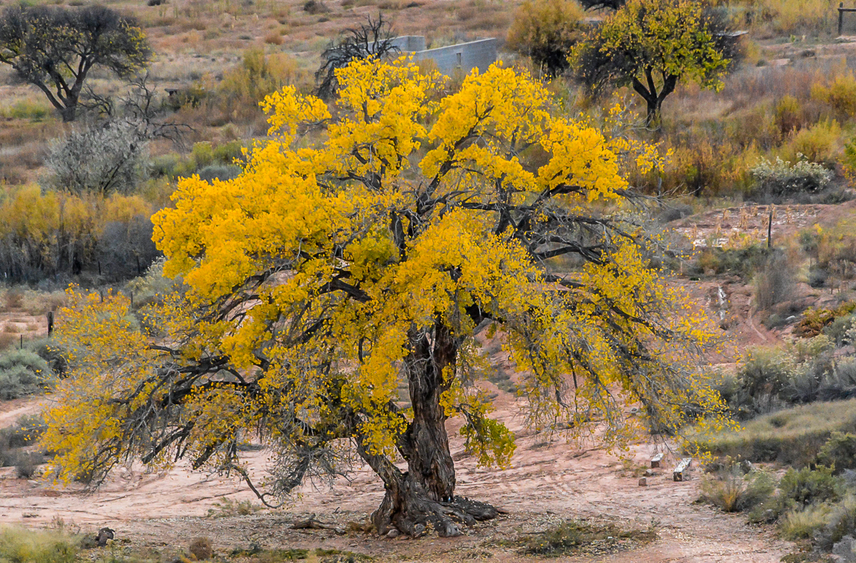GRANDFATHER COTTONWOOD TREE GRACES MOENCOPI, HOPI NATION (2016)