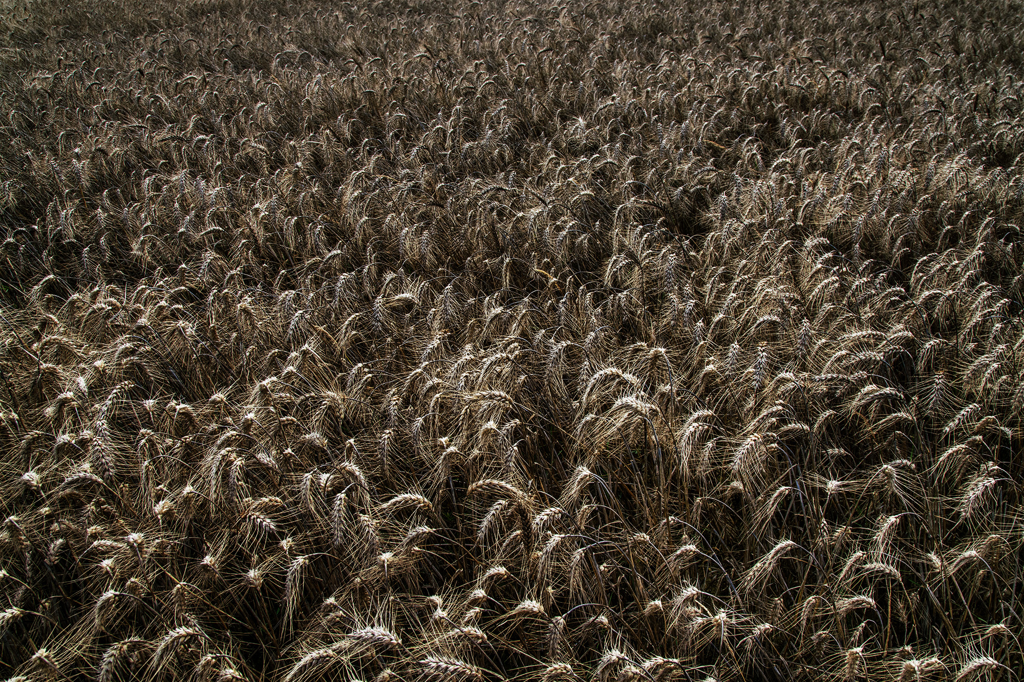Brittany_2017_Wheat_Field-048color.jpg