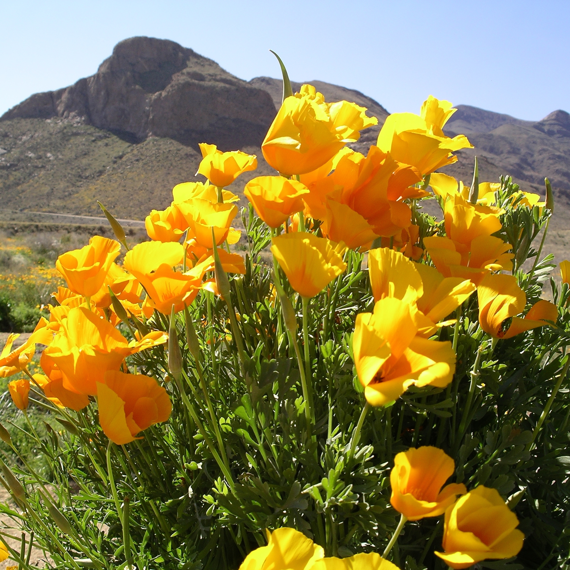 Poppies and Franklins.JPG
