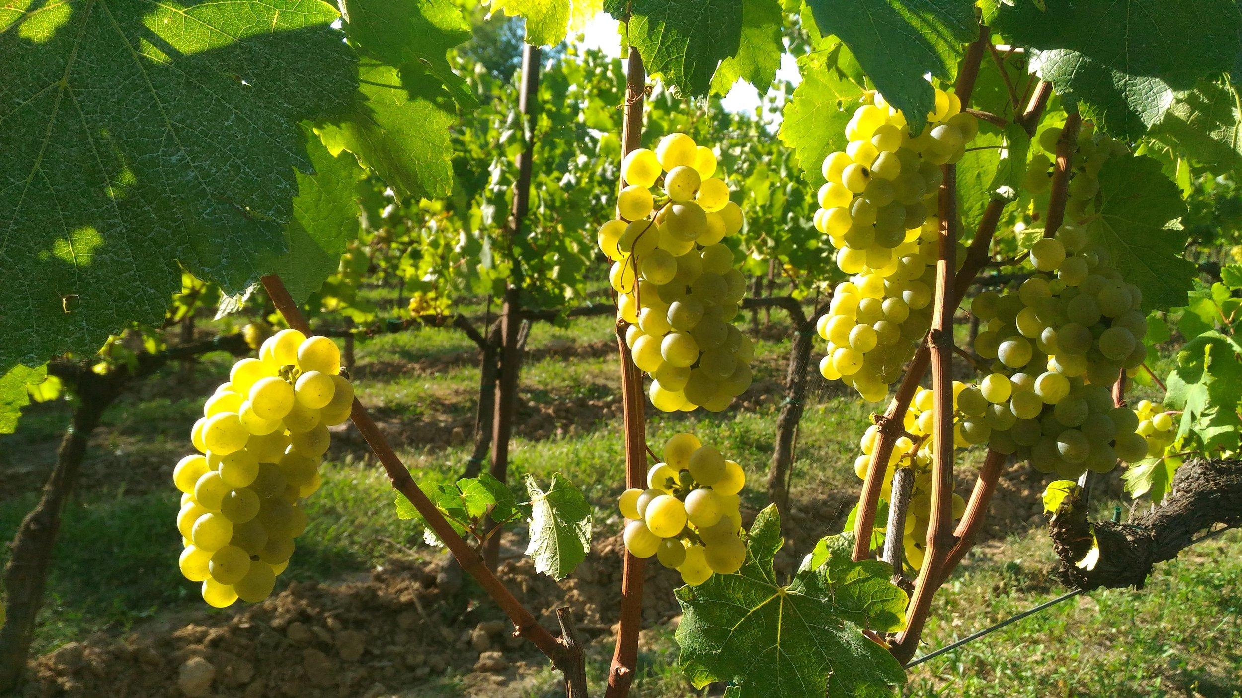 grapes-2642246.jpg