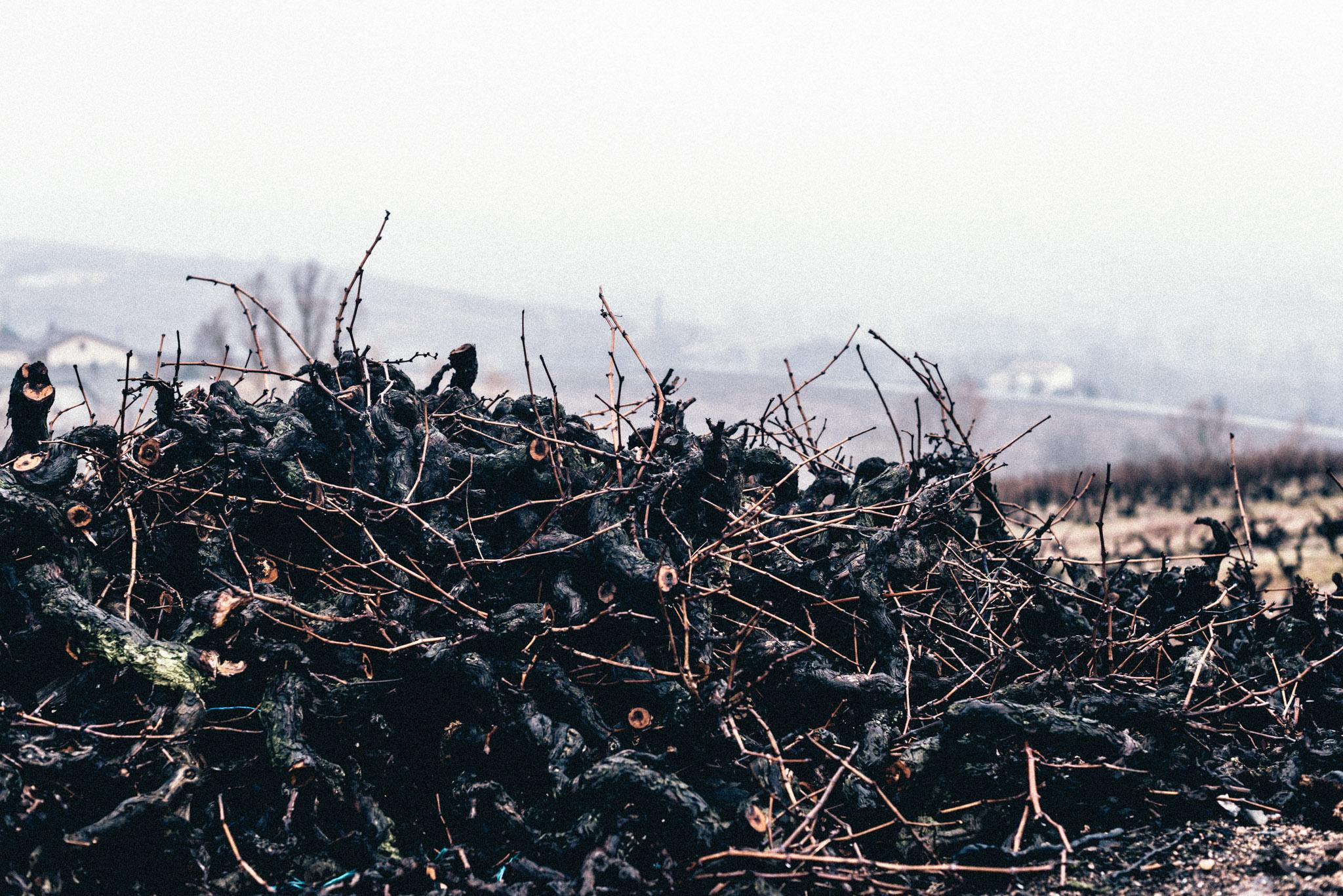 France : Beaujolais : Vine cuttings