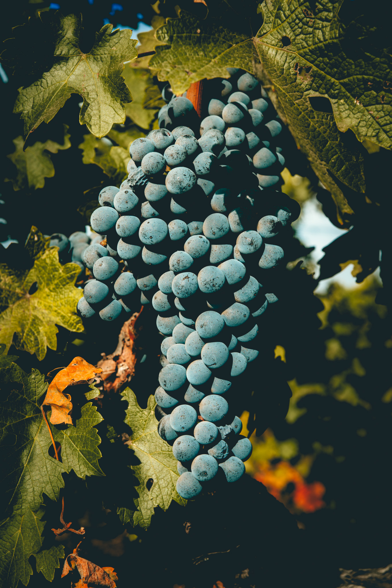 California : Napa Valley : Beckstoffer To-Kalon vineyard in Oakville