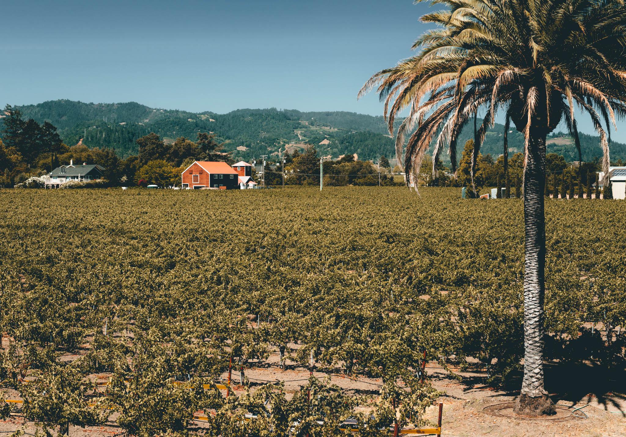 California : Napa Valley : Corison's vineyard in St. Helena