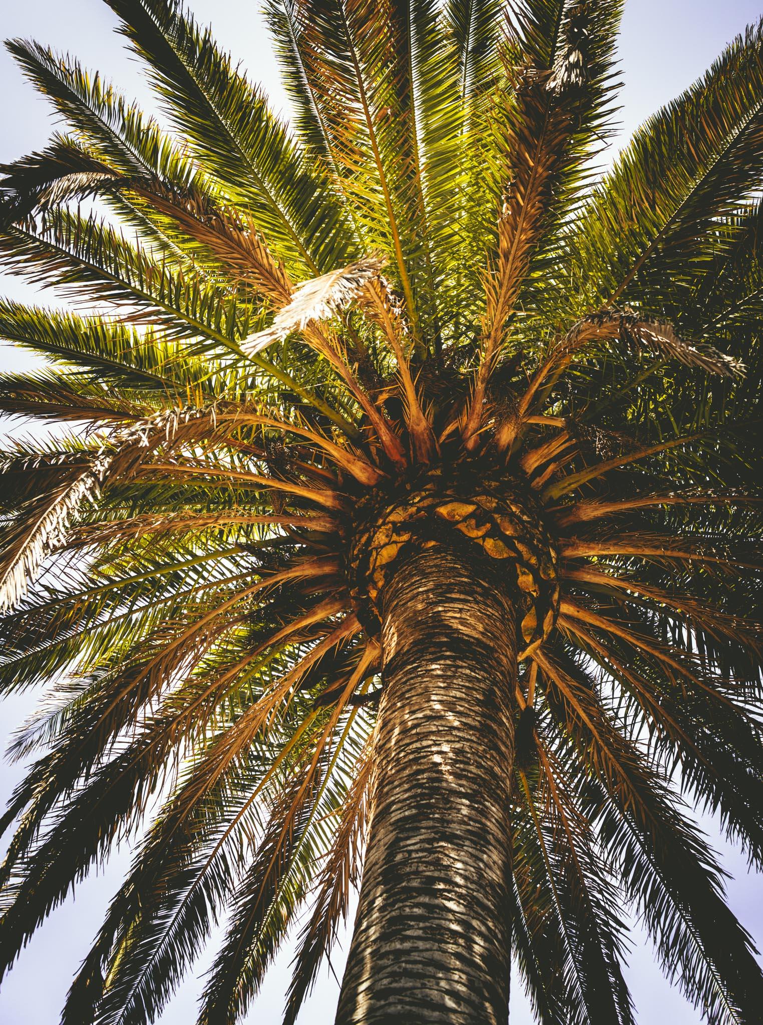 California : Napa Valley : Palm tree outside Corison in St. Helena