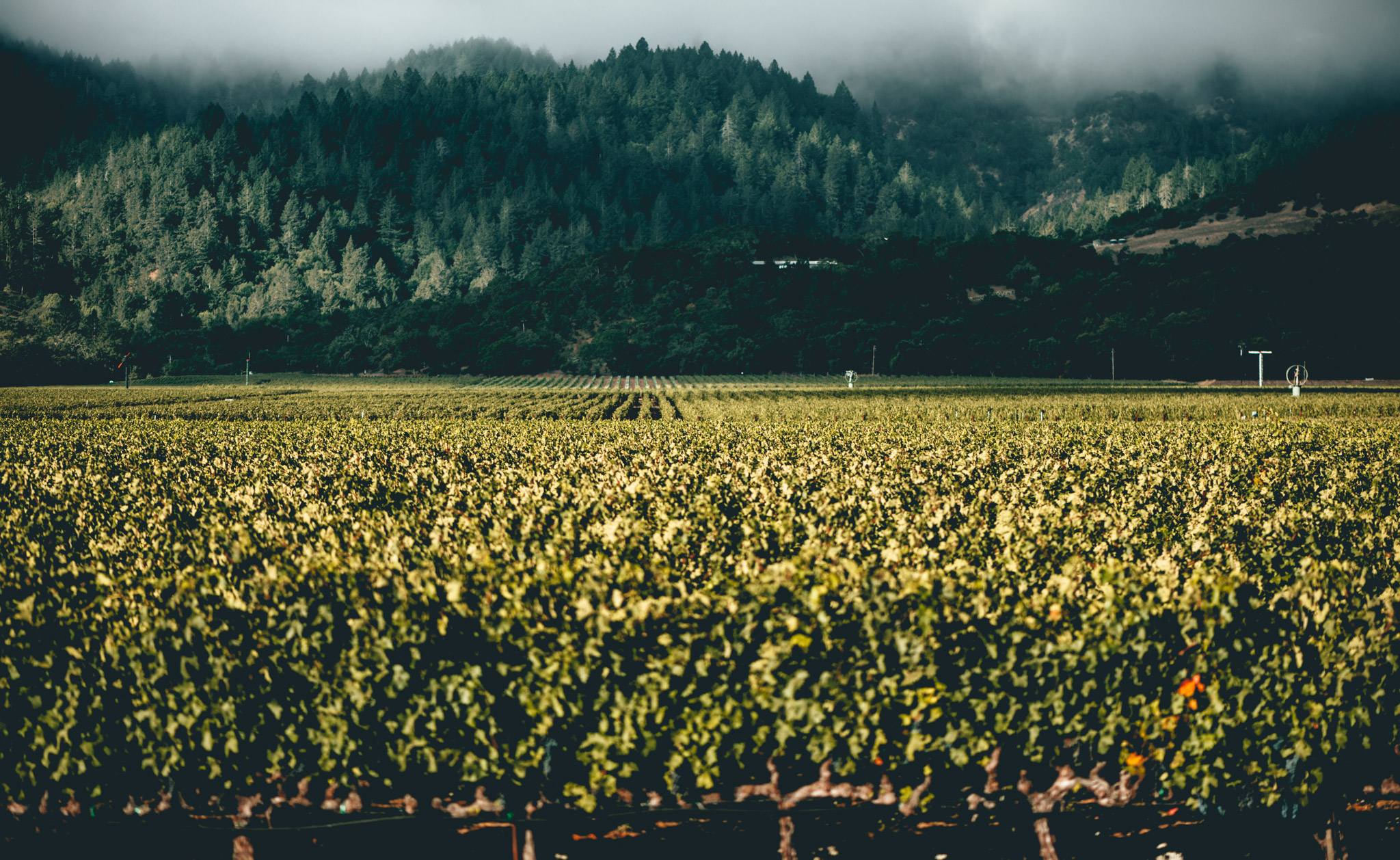 California : Napa Valley : Robert Mondavi's portion of To Kalon vineyard
