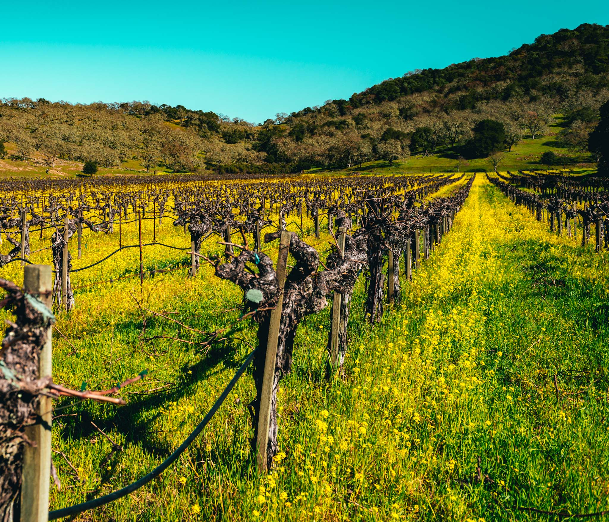 California : Napa Valley : Mustard growing among the vines in Oakville