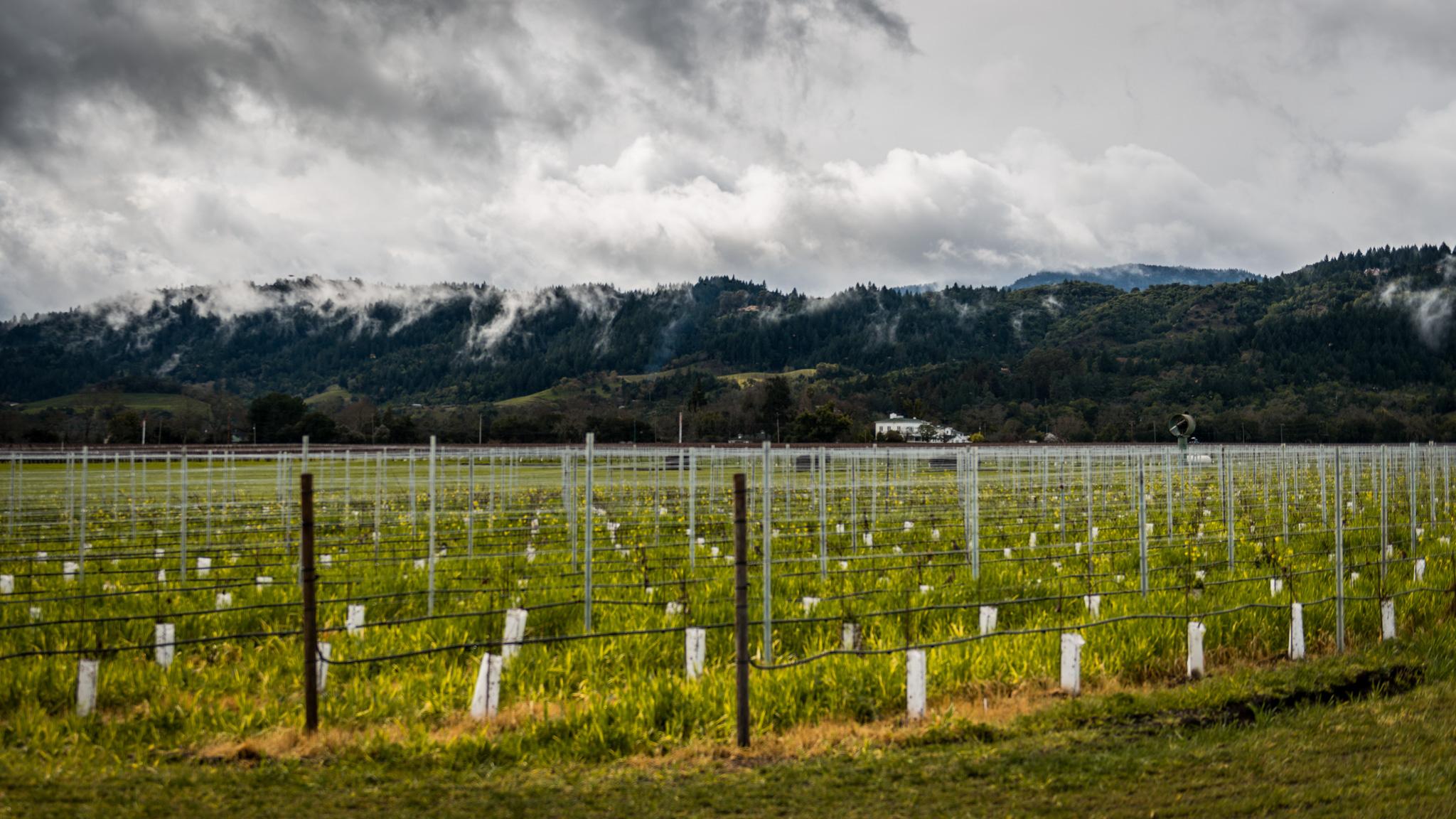 California : Napa Valley : Robert Mondavi's To Kalon after the rain