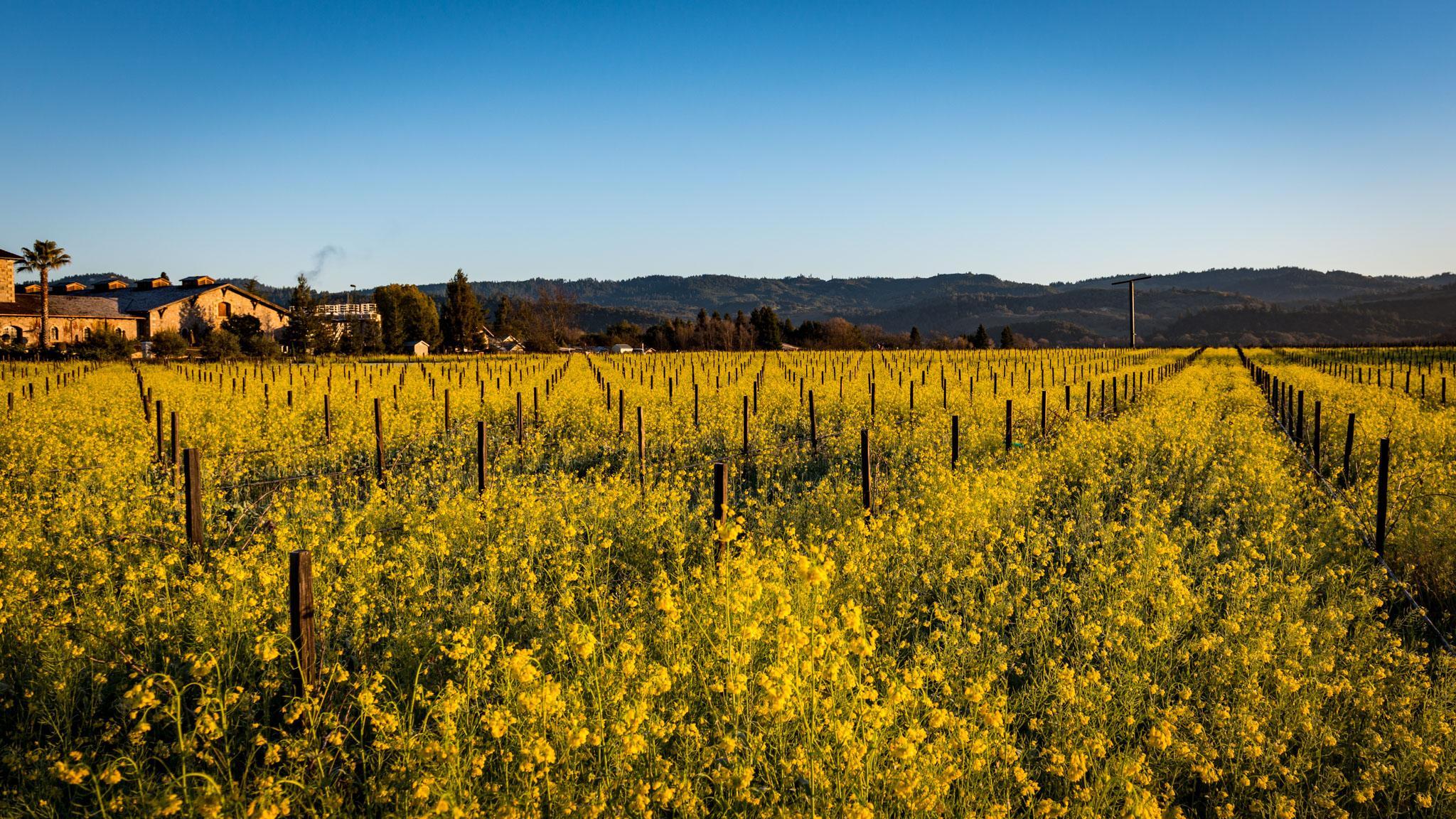 California : Napa Valley : Regusci Winery and mustard