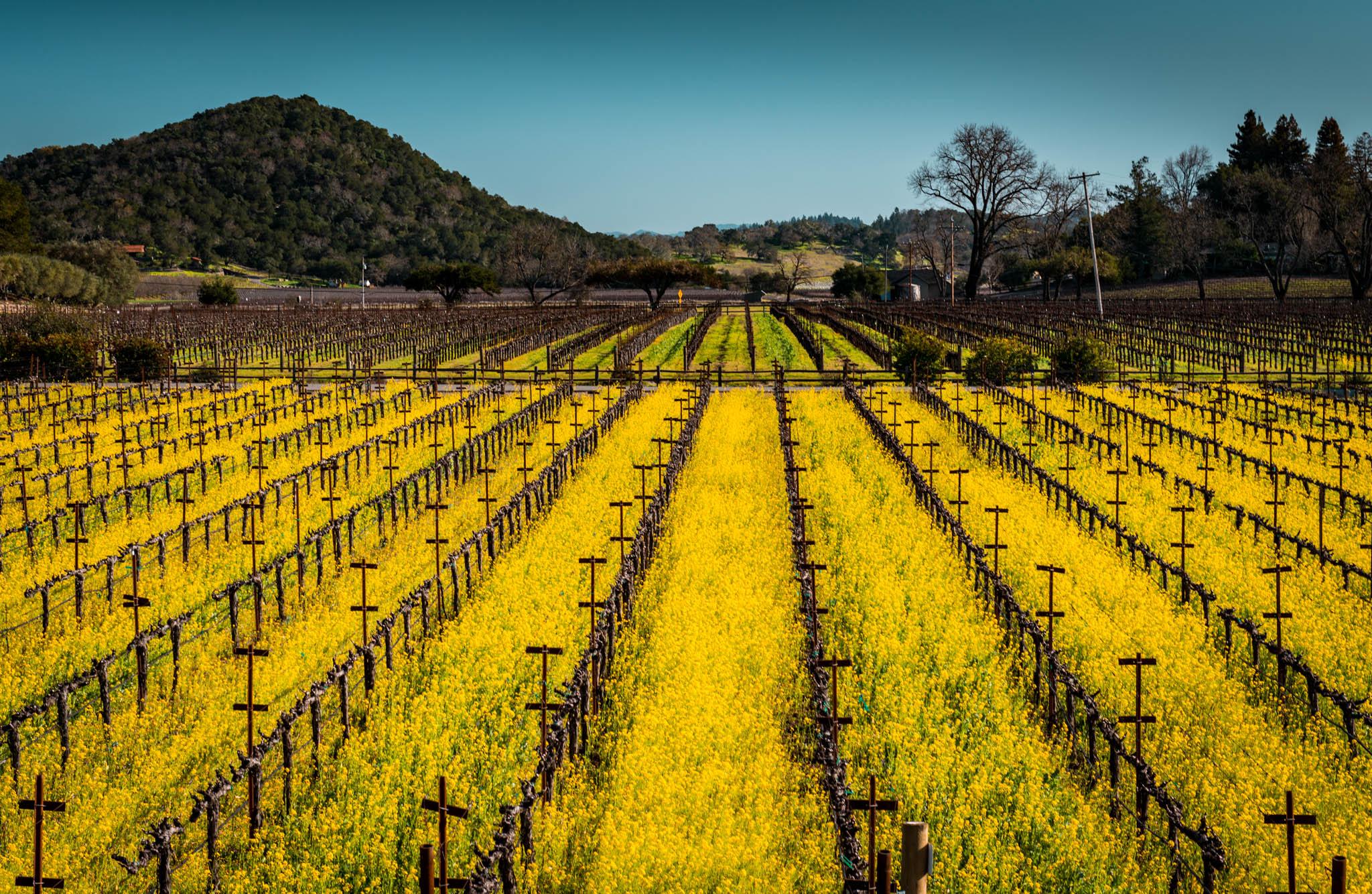 California : Napa Valley : Plumpjack's vineyard in Oakville