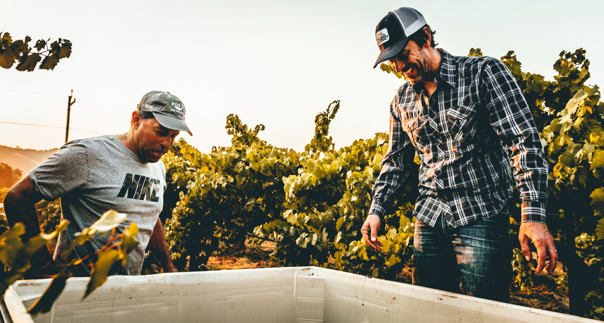 California : Mendocino : Lolonis Vineyard owner Athan Poulos and LIOCO Wine owner Matt Licklider inspecting incoming fruit