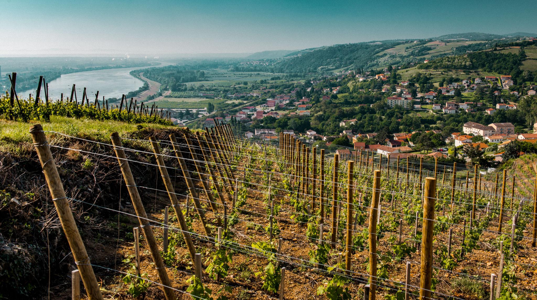 France : Northern Rhone :La Cote vineyard in Chavanay, growing Viognier for Condrieu AOC