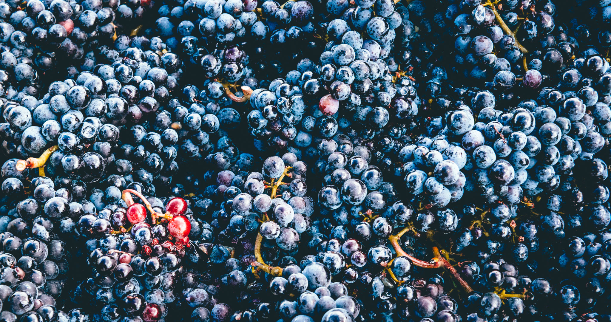 US : Oregon : The first Pinot Noir of the vintage harvested for St. Innocent