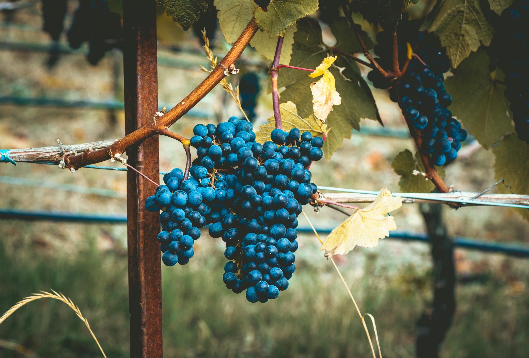 US : Oregon : Pinot Noir at St. Innocent
