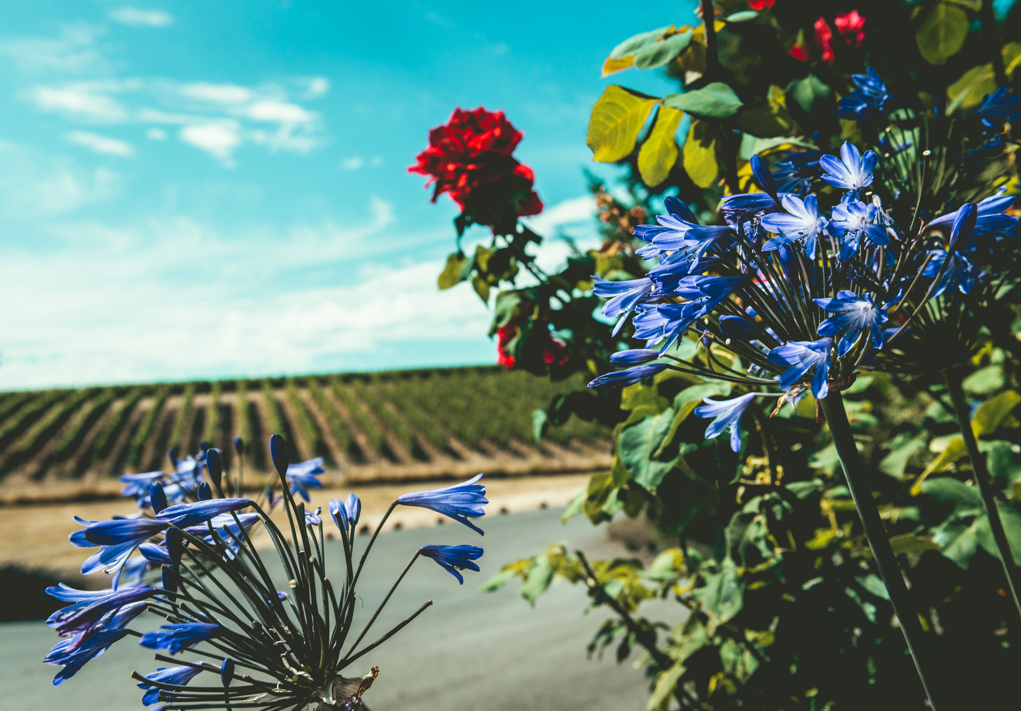 US : Oregon : Vineyards outside of Willakenzie's winery in the Yamhill-Carlton District