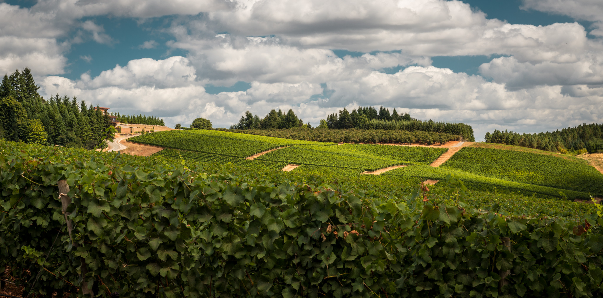 US : Oregon : Vineyards surrounding Erath in the Dundee Hills AVA