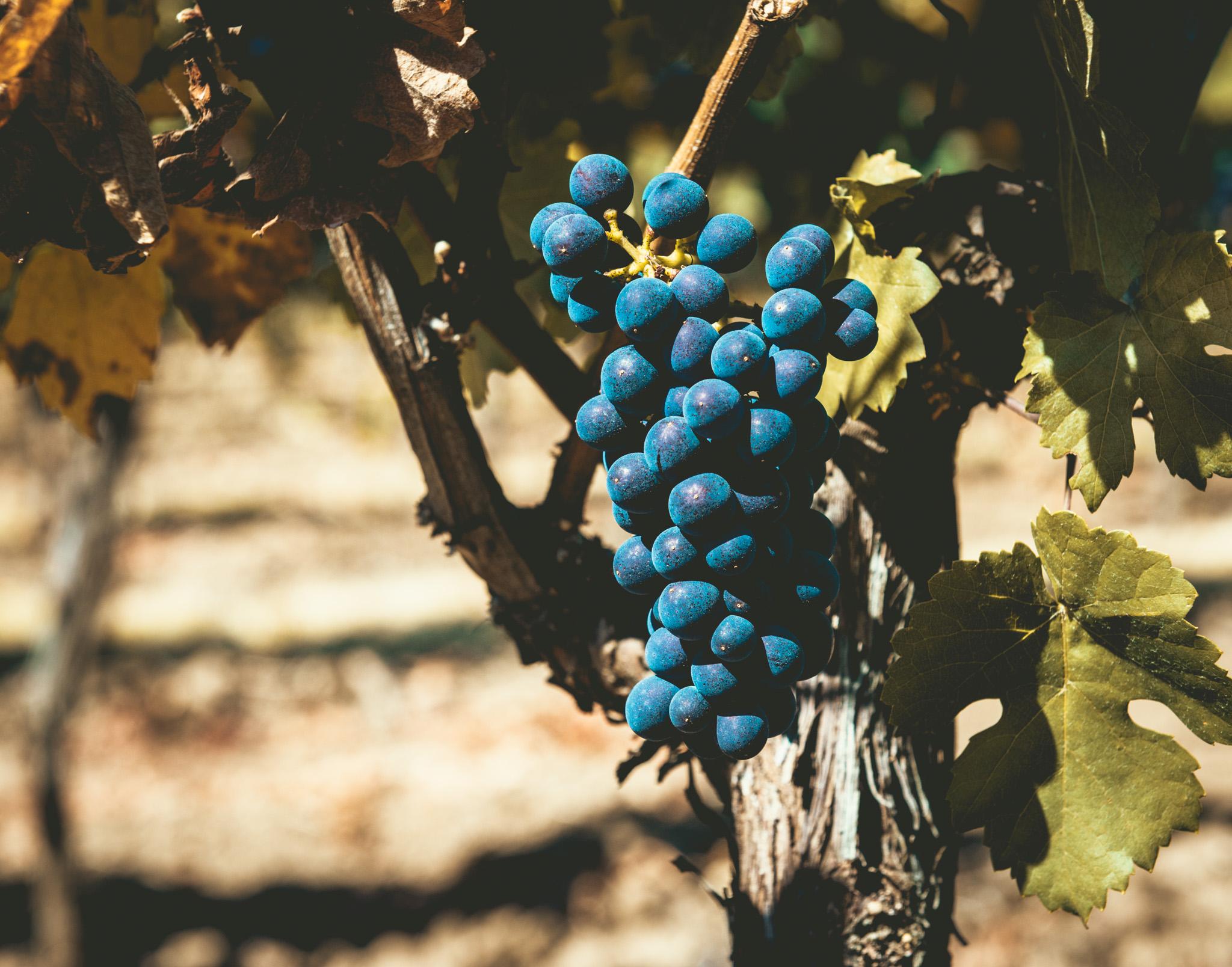 US : Oregon : Pinot Noir at Penner Ash