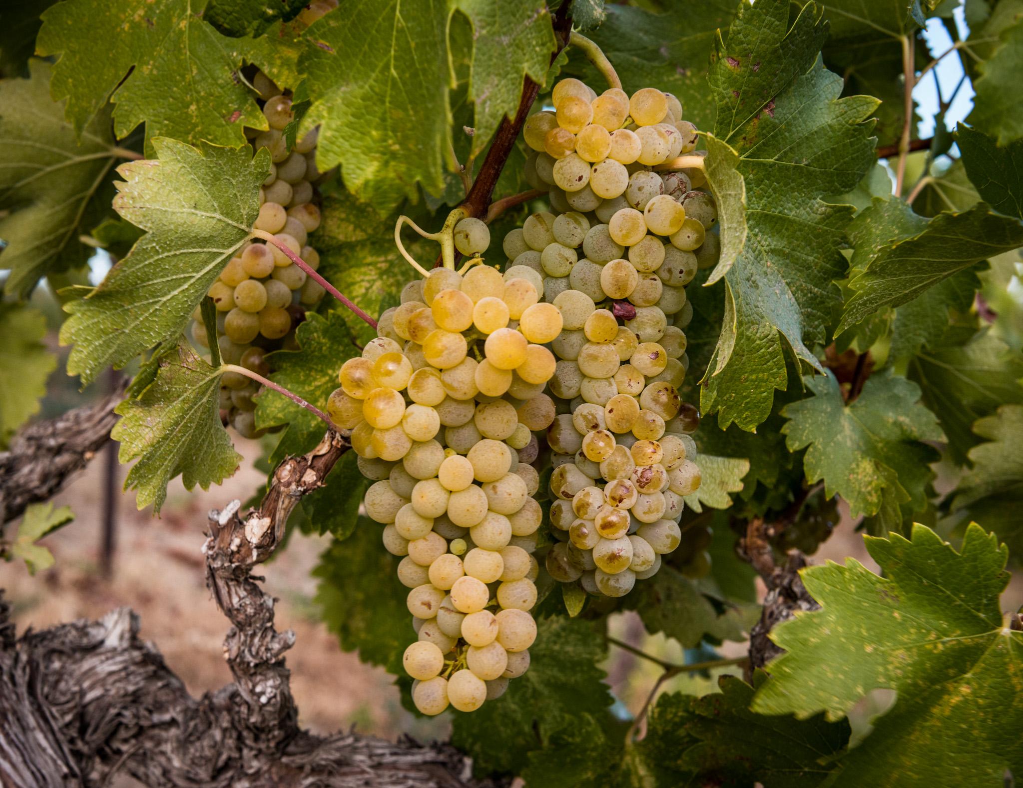 US : Washington : Viognier growing in Red Willow Vineyard, Yakima Valley