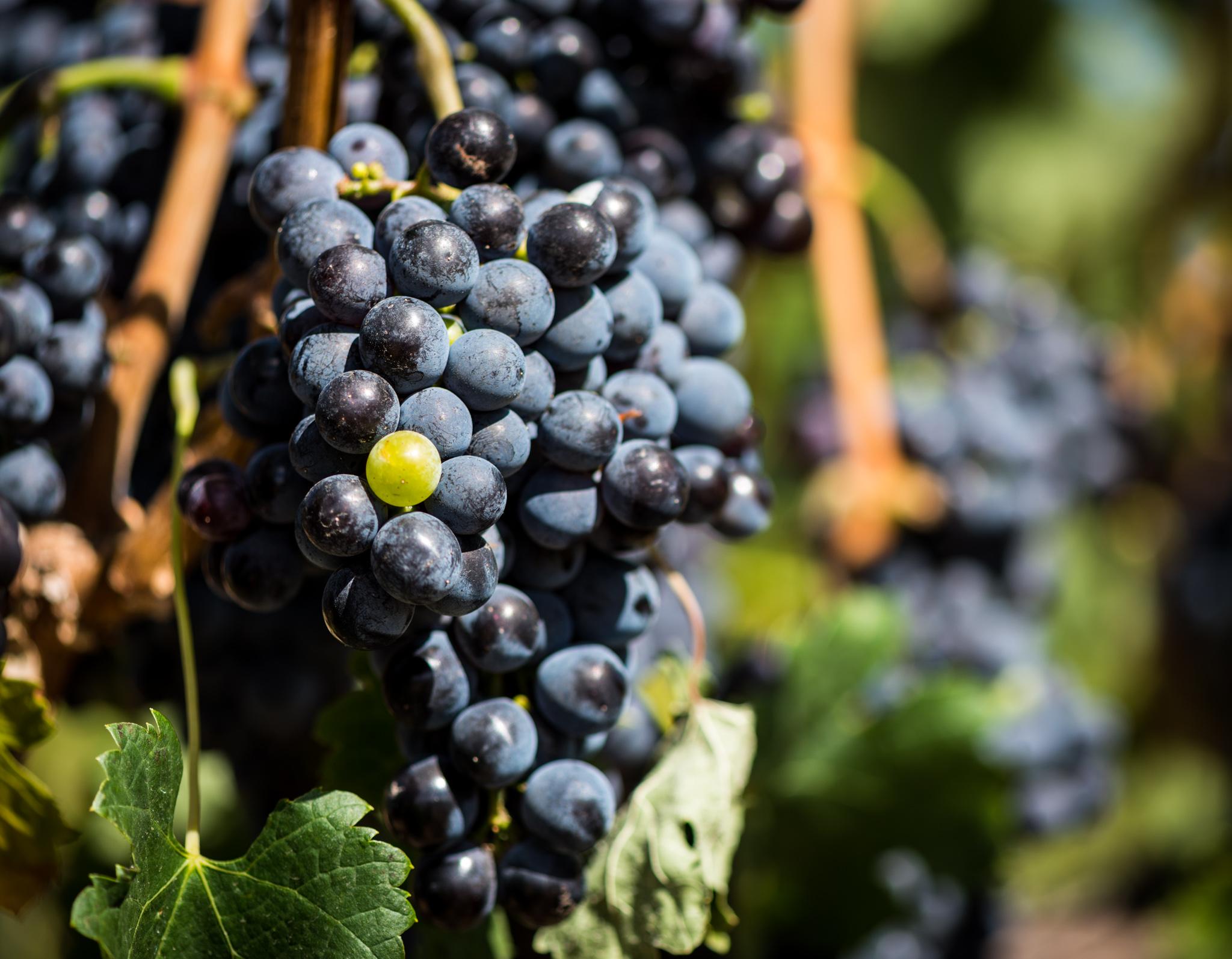 US : Washington : Green grape, black sheep...aMaurice Vineyard, Mill Creek area of Walla Walla