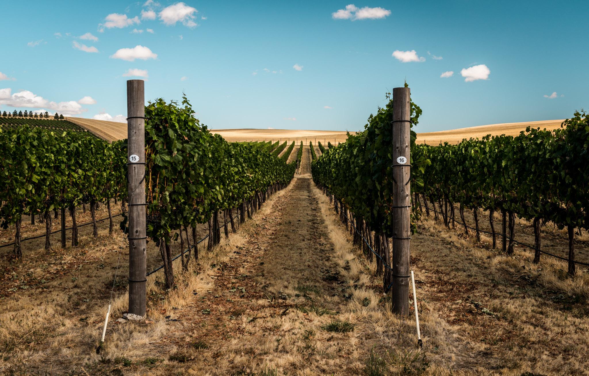 US : Washington : Vineyards at aMaurice Cellars in Walla Walla's Mill Creek area