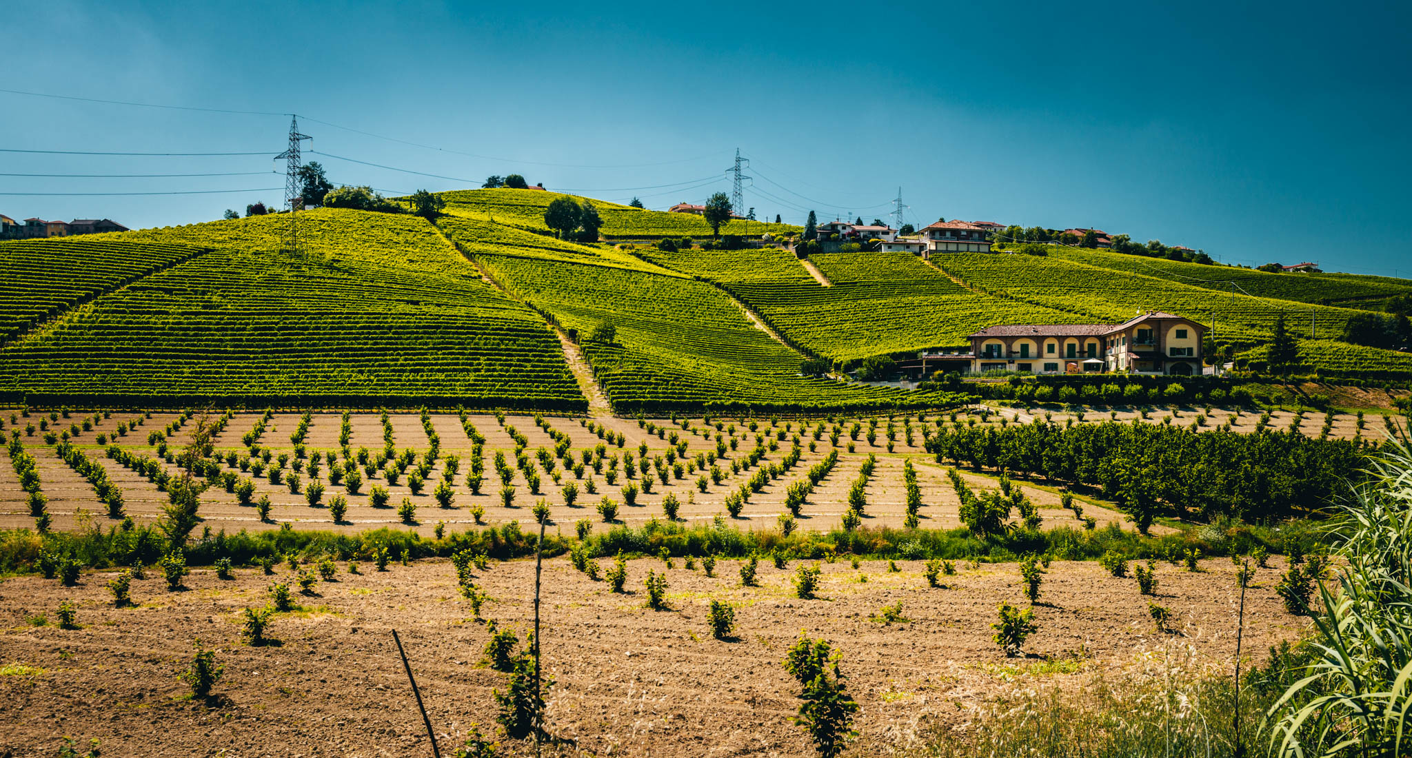 Italy : Piedmont : Ovello vineyard in Barbaresco with young hazelnut trees in the foreground