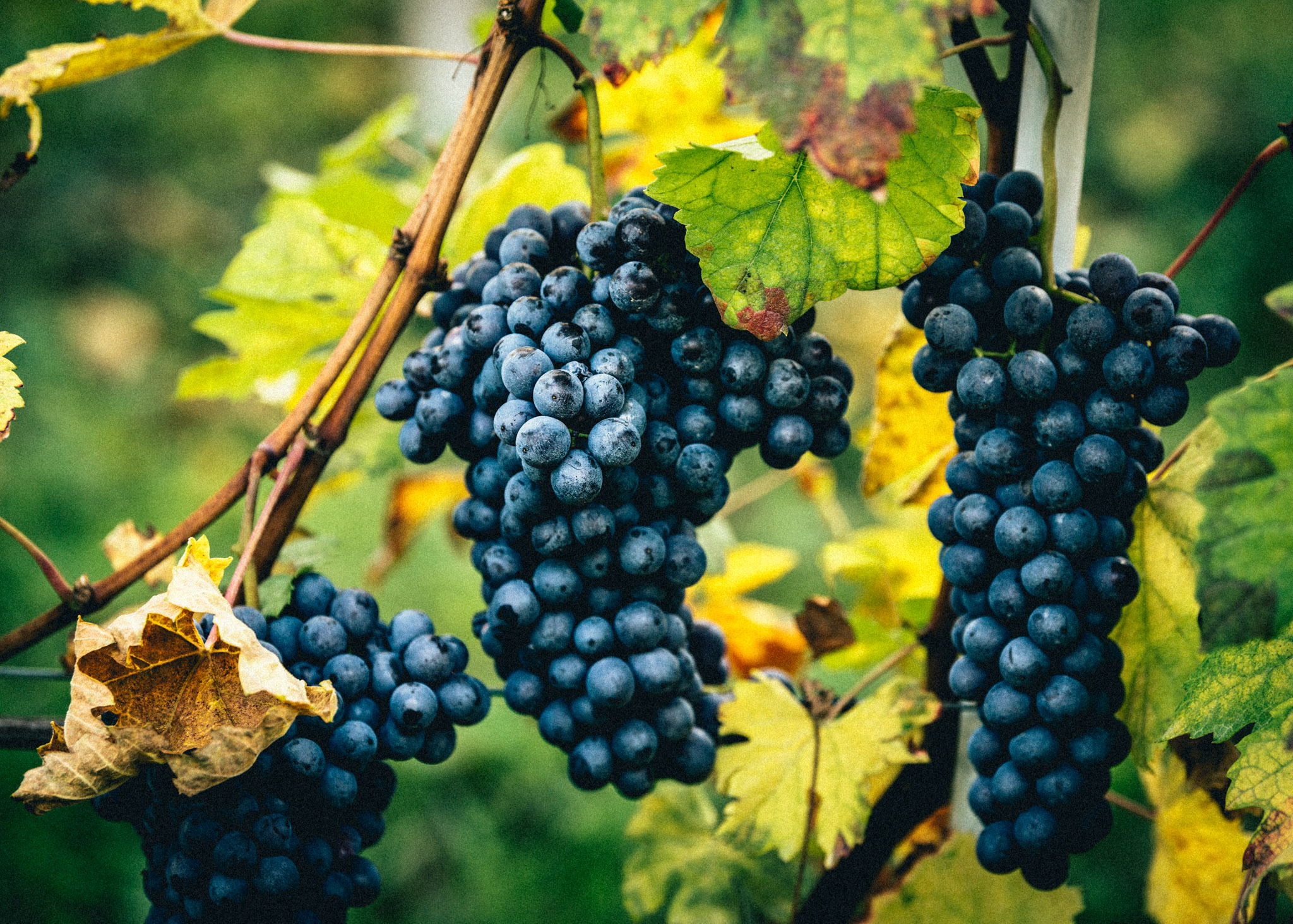 Italy : Piedmont : A perfect Nebbiolo cluster