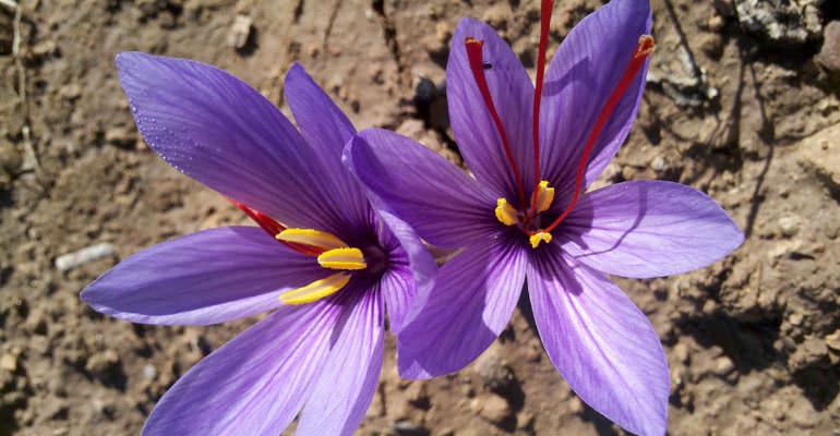 Saffron flower.