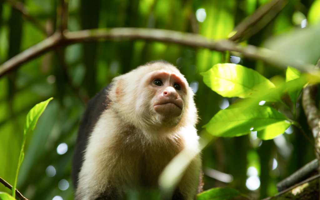 Christian-Schaffer-Costa-Rica-Jungle-Monkey.jpg