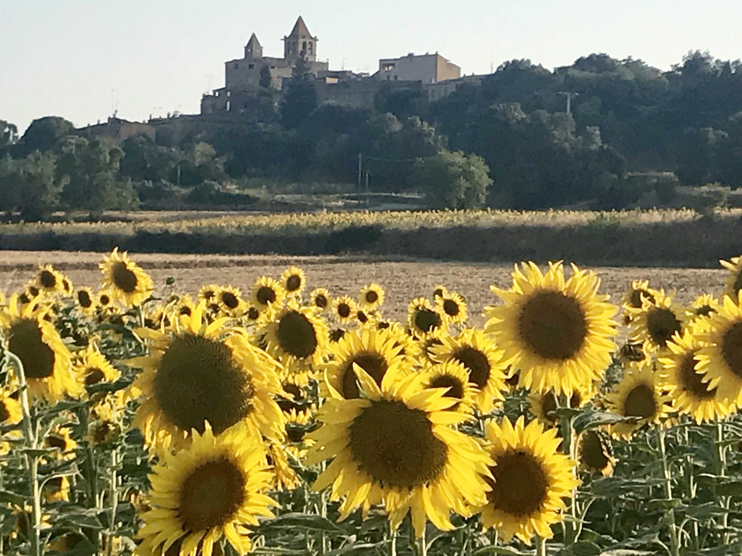 Ah - to walk right into the fields of sunflowers to see the bees diving and the petals lifting in the soft summer breeze (outside Monells/Madremanya).