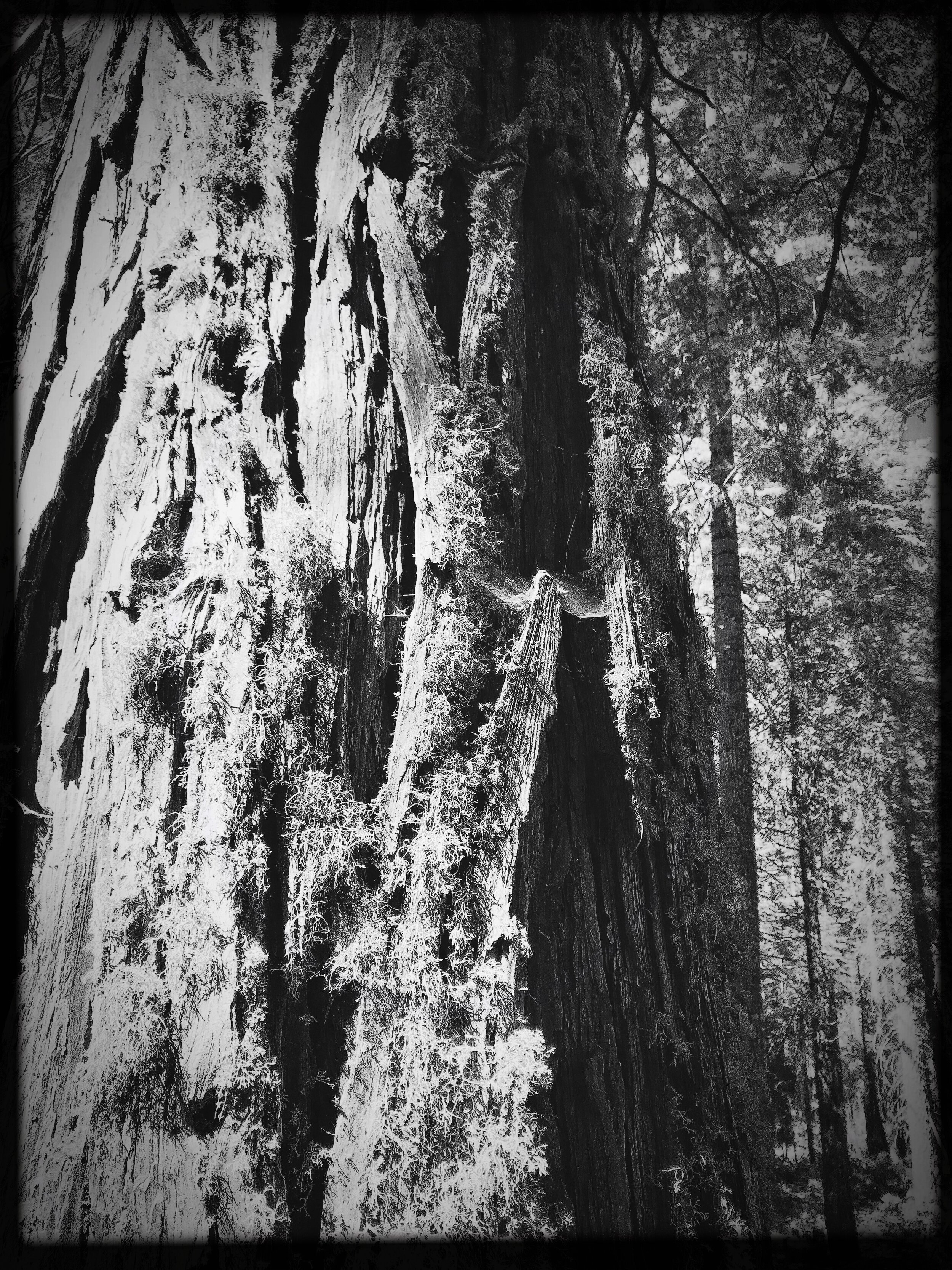 The trees are so beautiful in both black and white AND color. We were treated to seeing and hearing several rare woodpeckers pecking away.