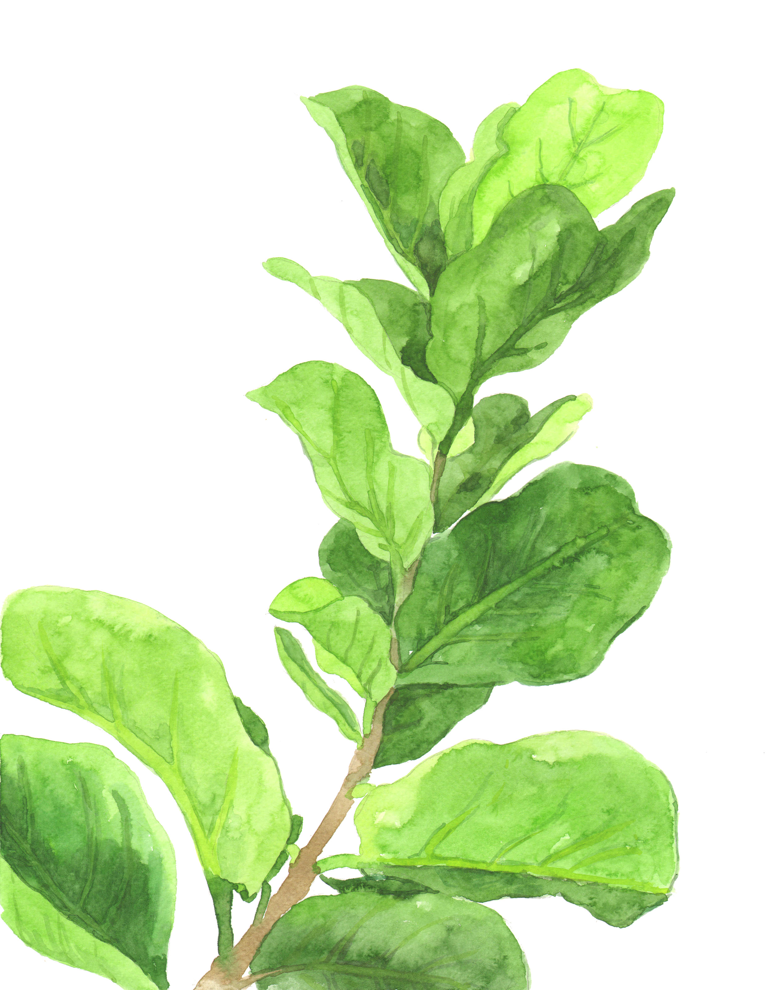 Fiddle Leaf Fig final.jpg