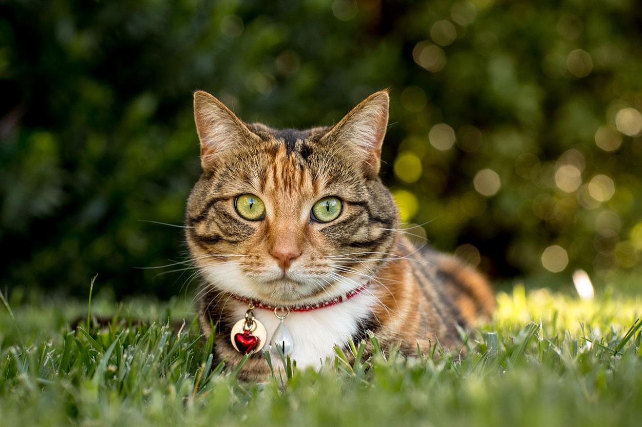 Australian-Cat-Destination-sunshine-coast-pet-photographer-animal-mooloolaba-maroochydore-mudjimba-marcoola-coolum-beach-sunrise-noosa-national-park-maleny-caloundra-all-the-love-in-the-world-1