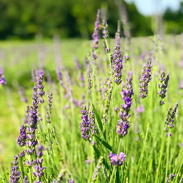 We are savoring the lavender we saw last month while using our Lavender Soft Mask for a soothing treatment💜  #beauty #skincare #facials #facialmask #italymade #professionalproducts #masks #powdermasks #treatments #spa #dpcmasks #spaproducts #bestskincare #esthetician #aesthetics
