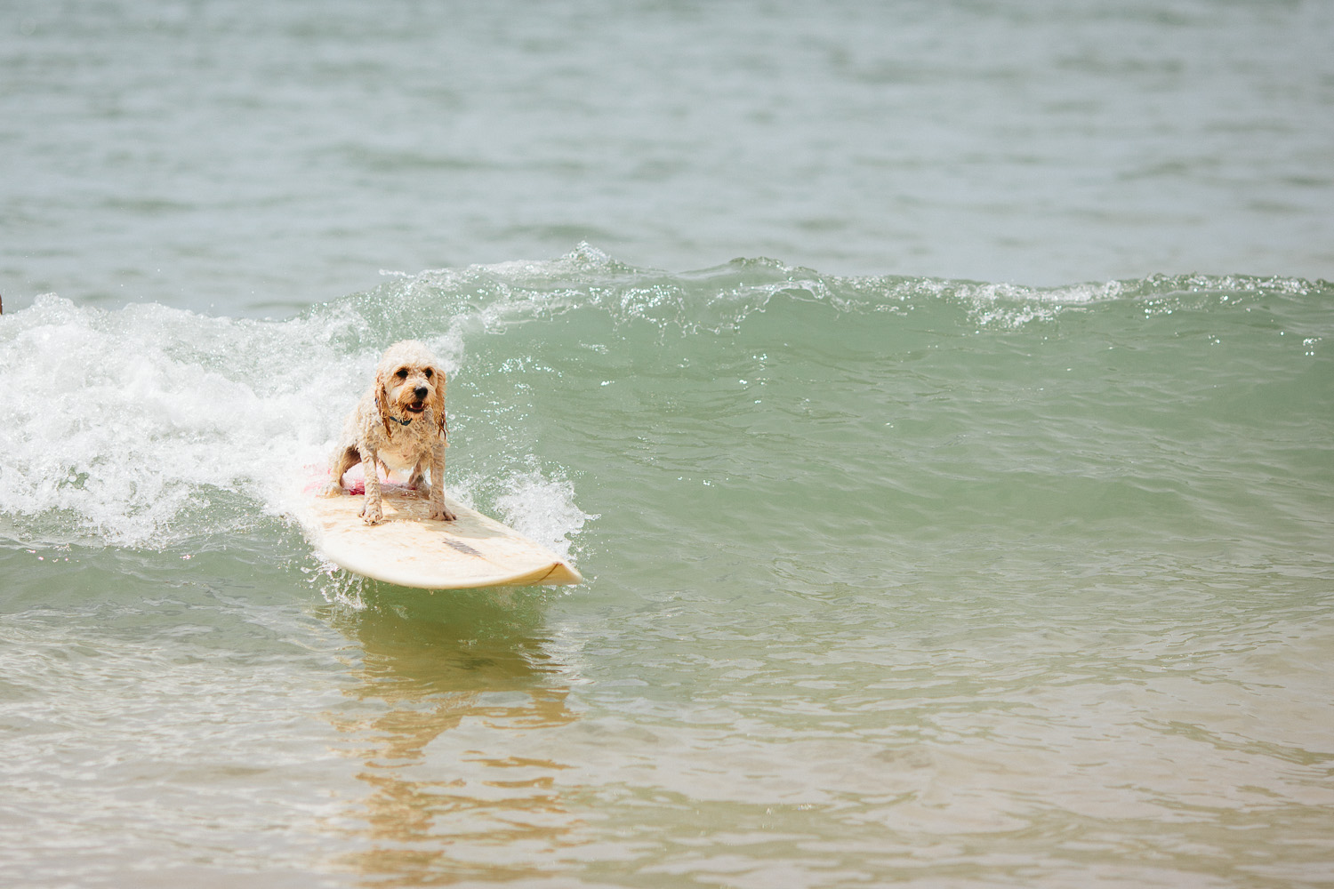 Gnarley Marley surfing cavoodle dog Central Coast-1.jpg