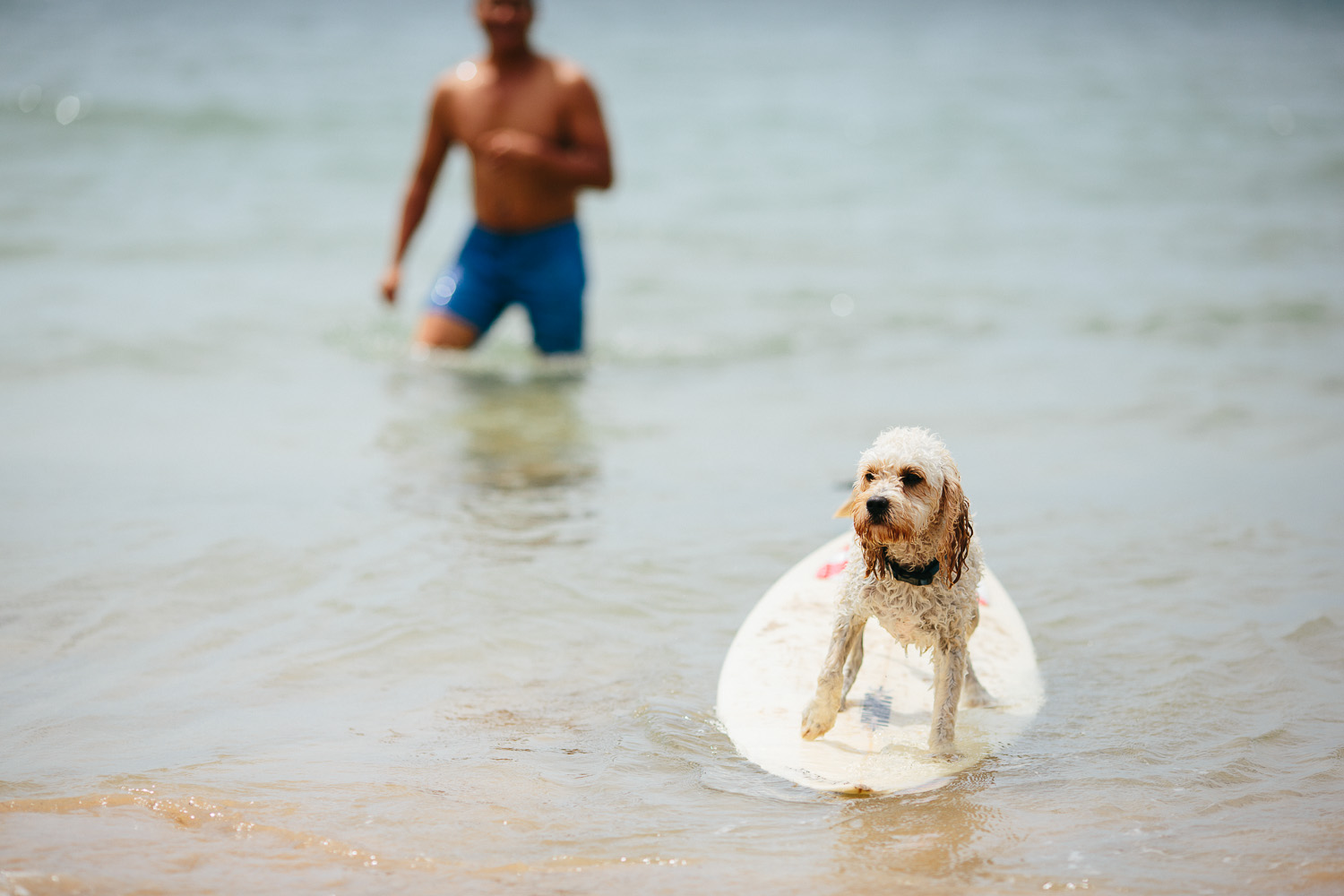Gnarley Marley surfing cavoodle dog Central Coast-4.jpg