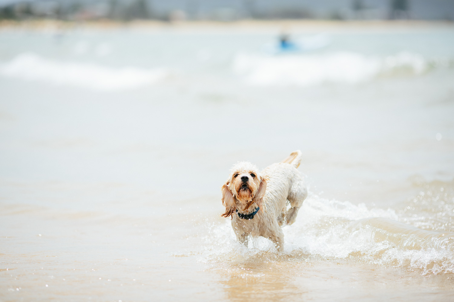 Gnarley Marley surfing cavoodle dog Central Coast-10.jpg