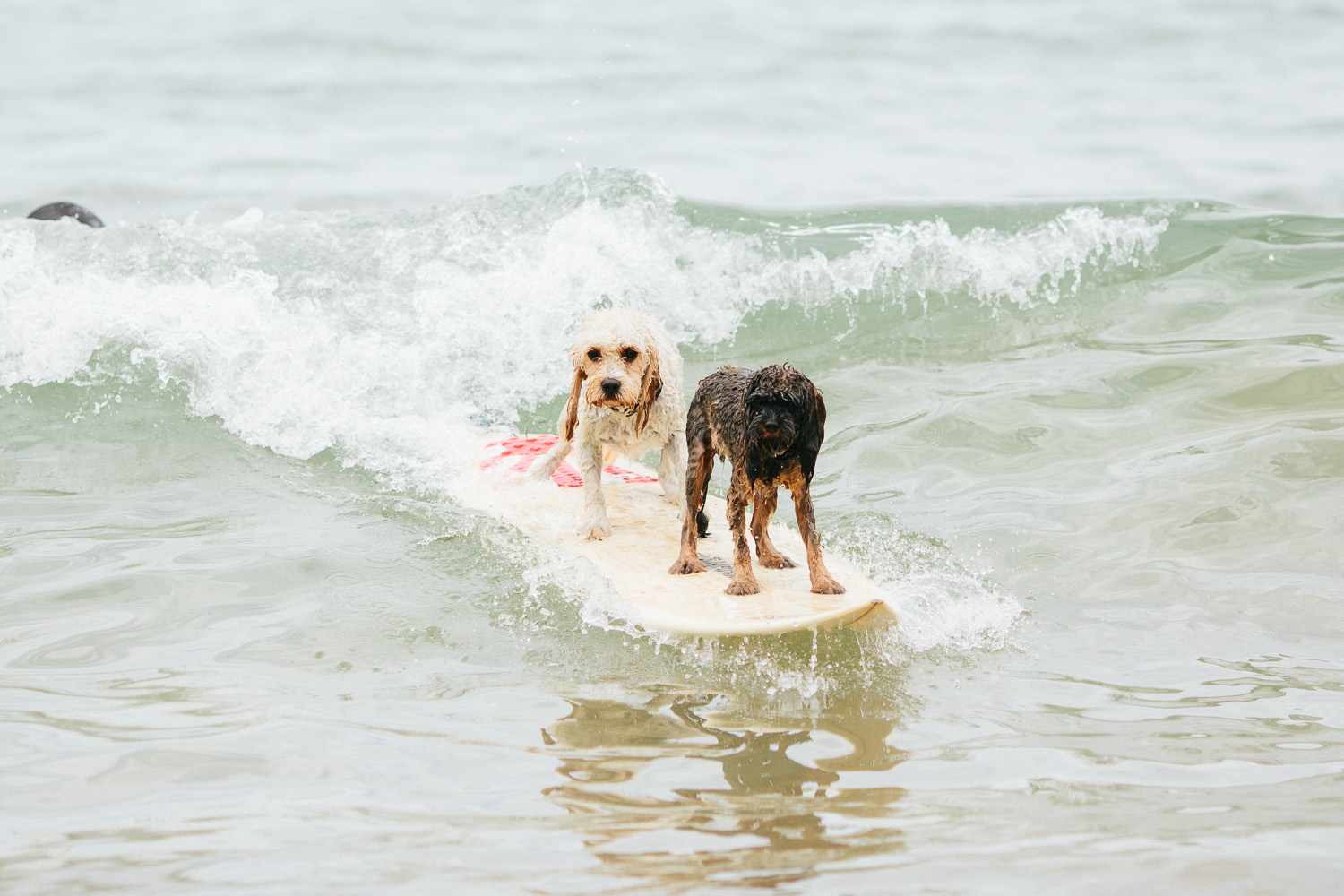Gnarley Marley surfing cavoodle dog Central Coast-20.jpg