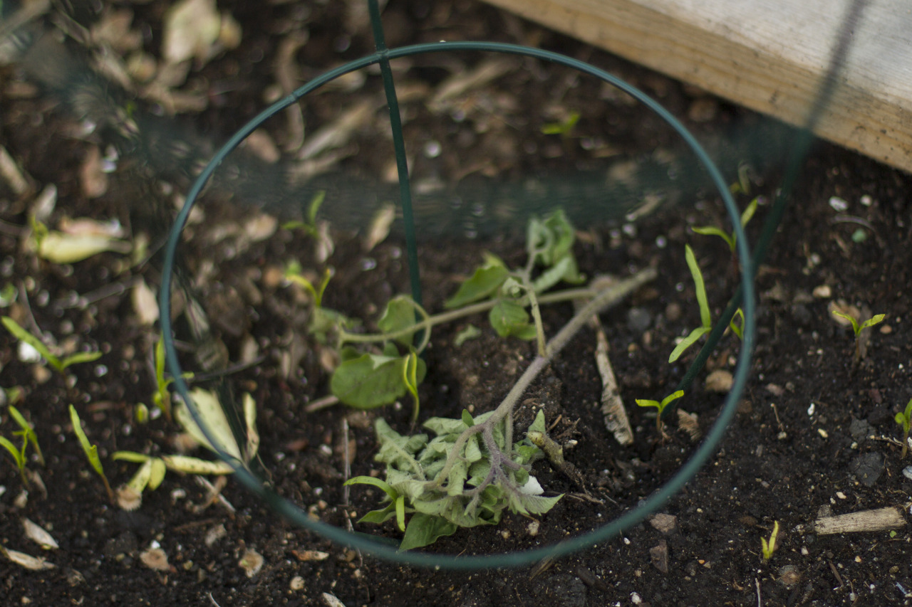 GAAAAAAHHHHHH!!! This is the fourth tomato plant that's been chopped by a cut worm.