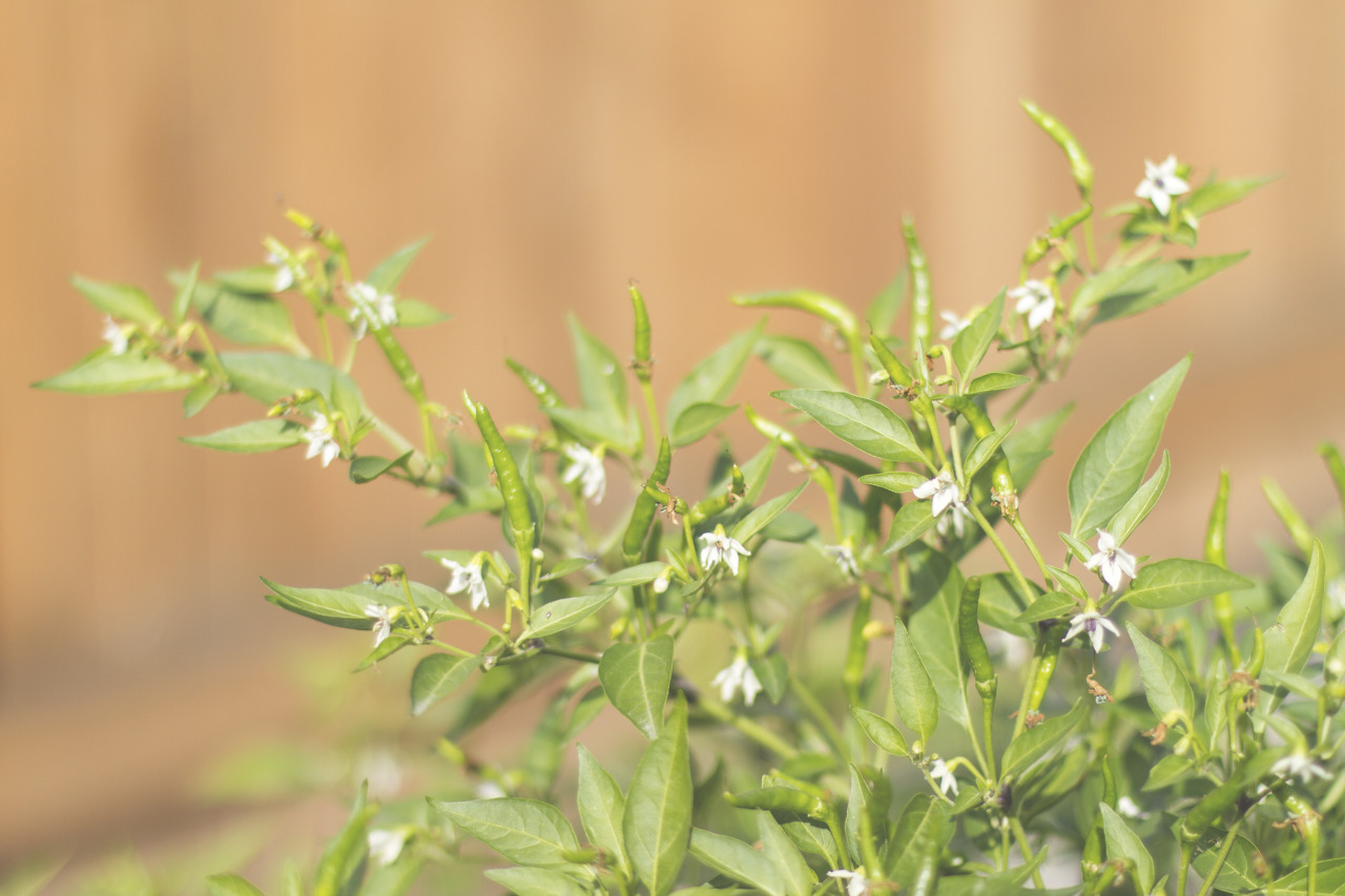 I wish we had a longer growing season. The second round of flowers on the Orange Thai pepper plants go to waste.