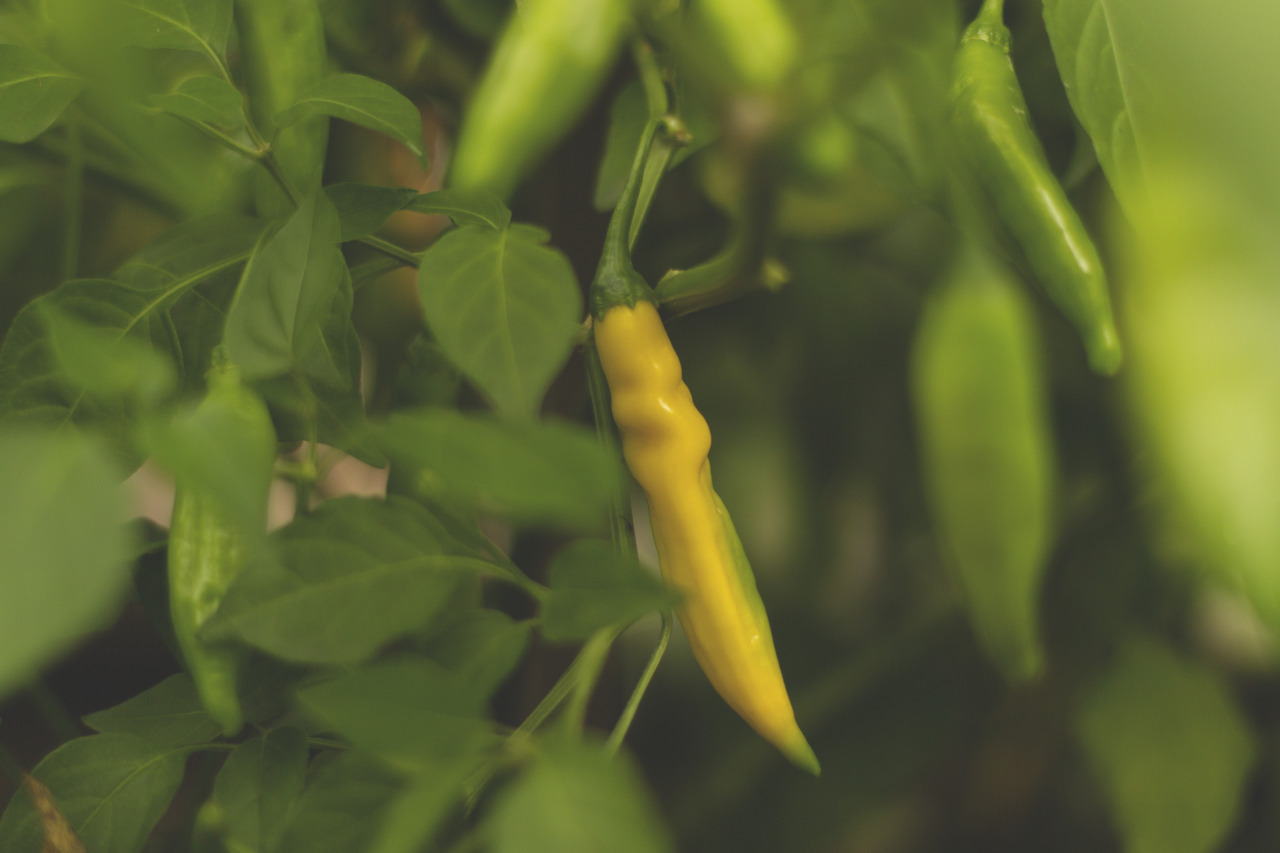 The lemon drop peppers are starting to look lemony!