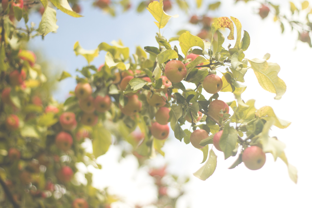 We picked all the apples we could reach.