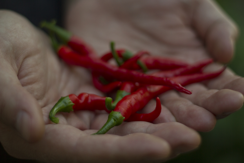 Thursday's cayenne pepper harvest.