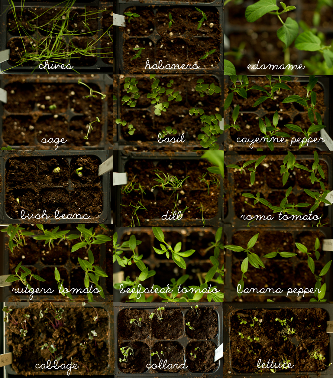 Some of this year's seedlings.