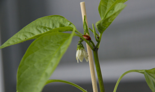 Getting a good  meal in  - A ladybug eating the aphids off of my jalapeno flowers.