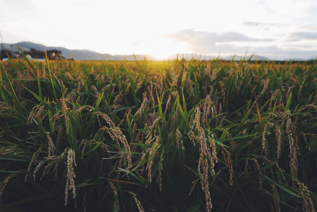 Golden hour in the rice fields.