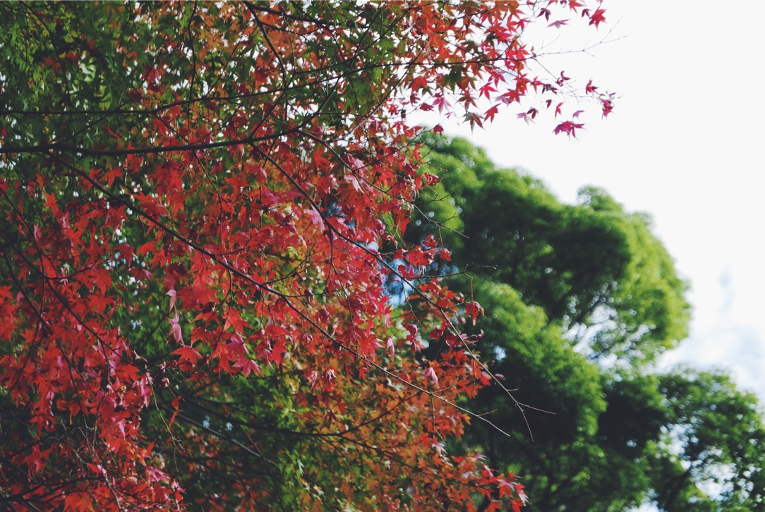 Japanese Maples awash with color.