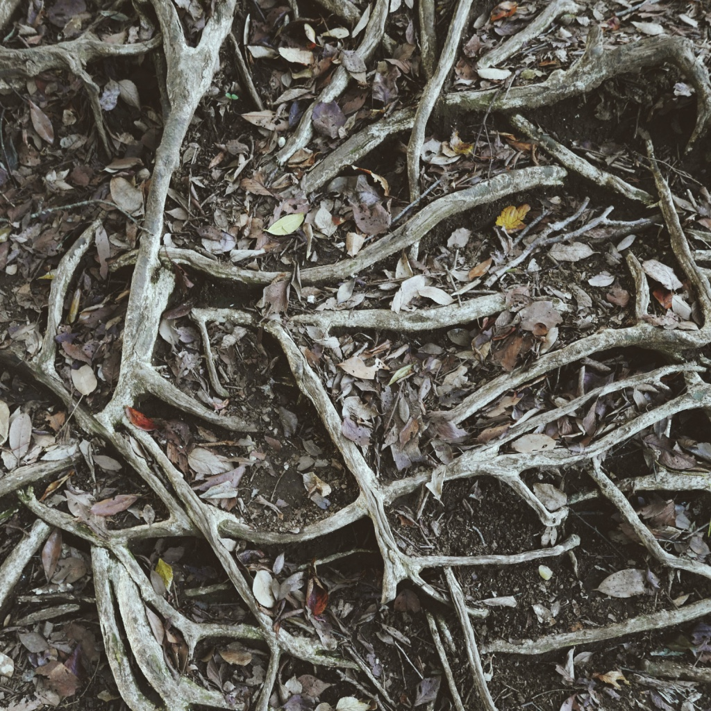 Beautifully tangled tree roots underfoot.