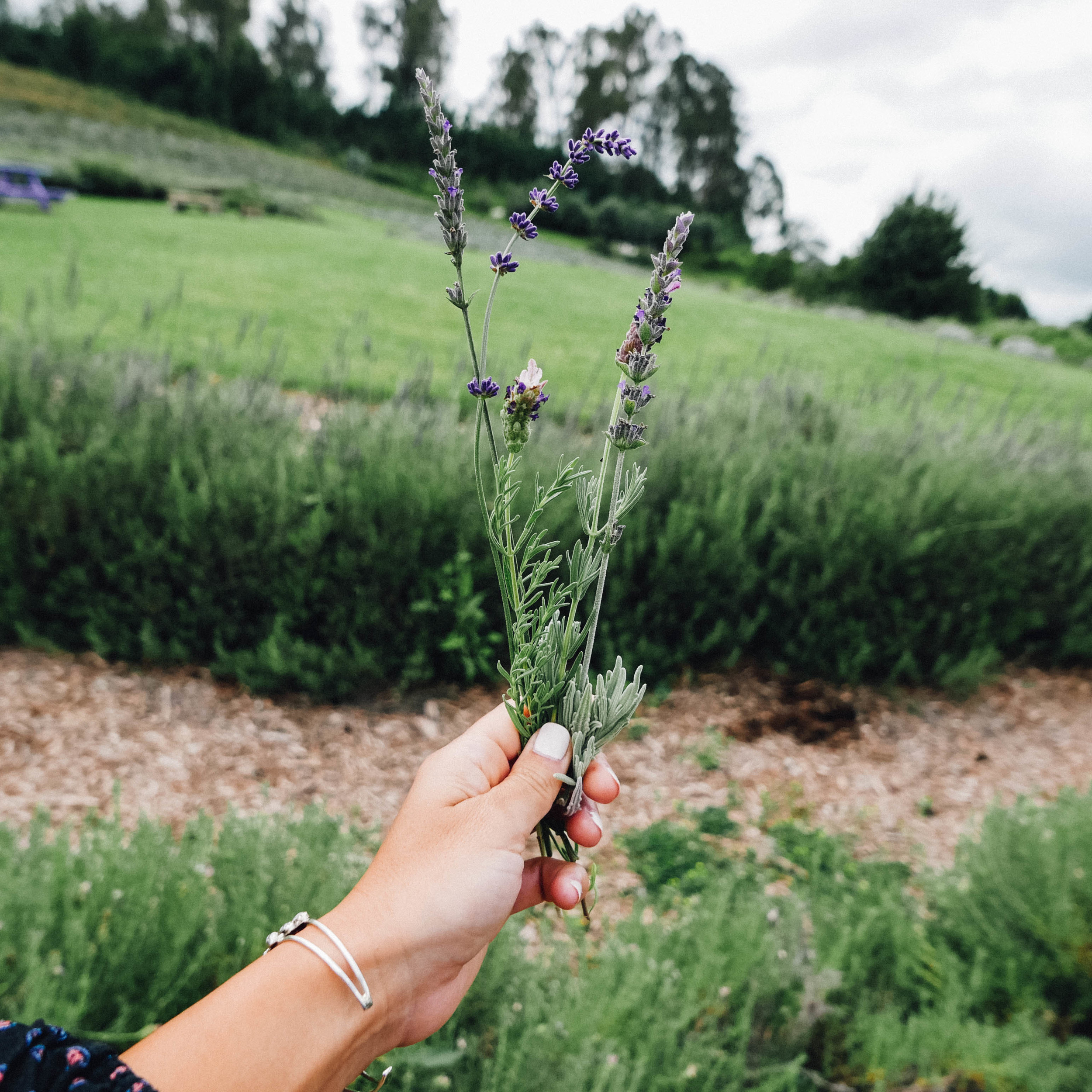 Fresh-picked lavender.