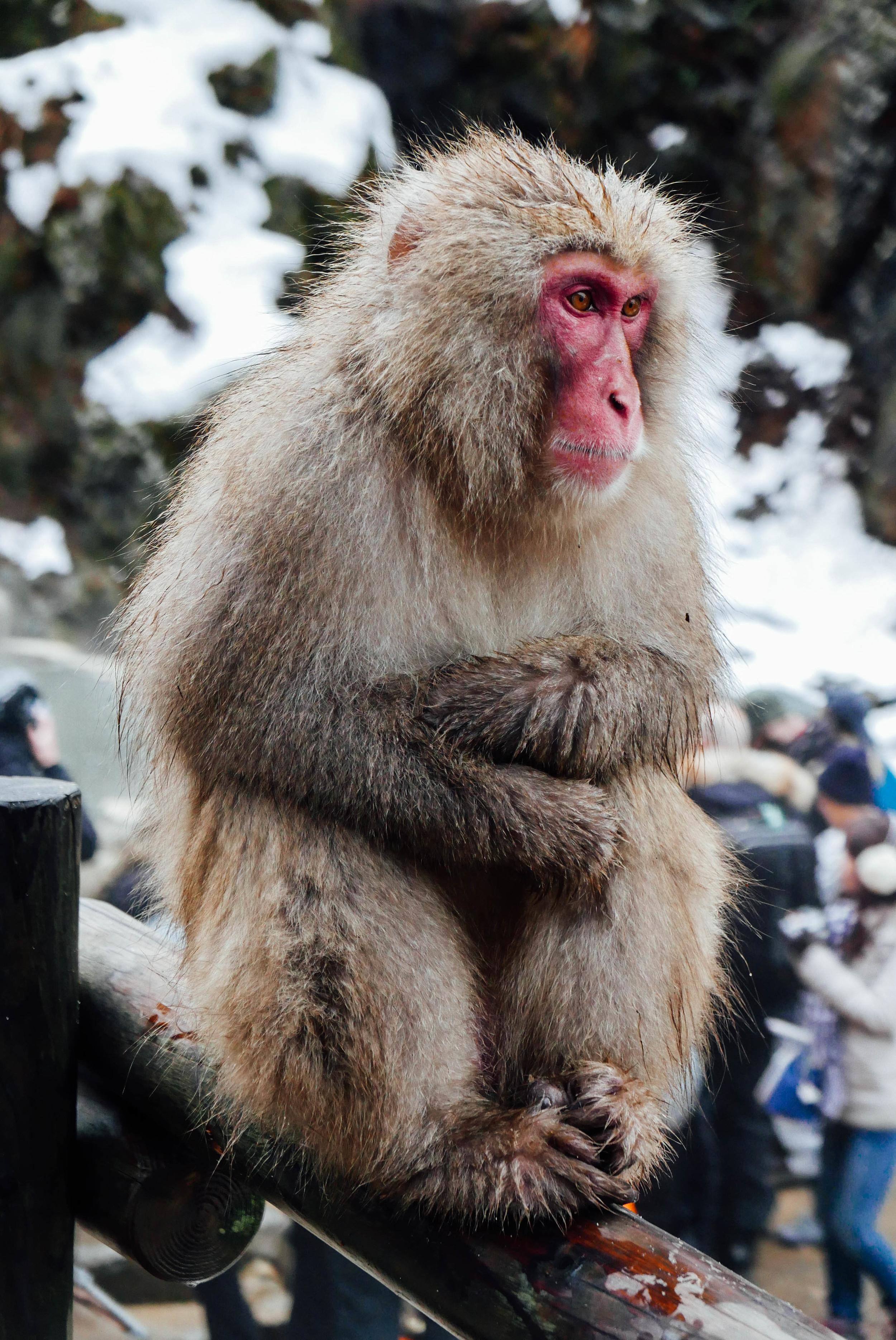 japan-snow-monkey.jpg